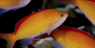 Redfin Anthias