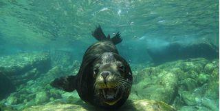 Seal Underwater in Baja California