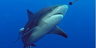 Bull shark, Beqa Lagoon