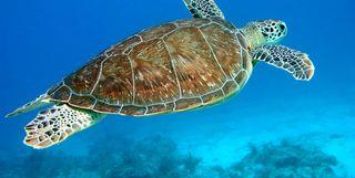Turtle Swimming, Caribbean