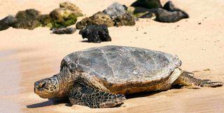 Loggerhead Turtle on the Beach