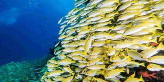 School of Snapperfish, Palawan