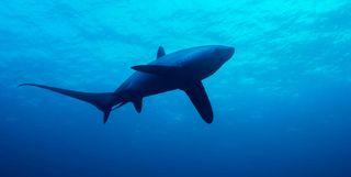 Thresher Shark, Malapascua