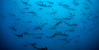 fever of hammerheads