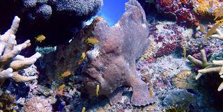 frogfish moalboal