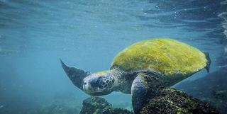 Turtle Swimming, Galapagos