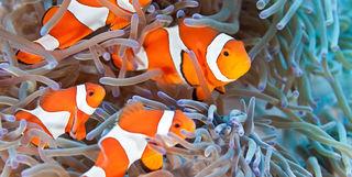 family of anemonefish