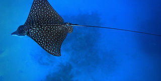 eagle ray belize