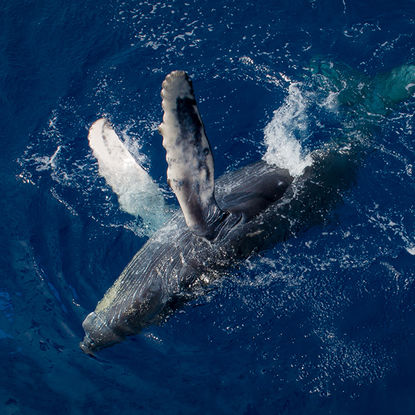 Aerial of humpback whale