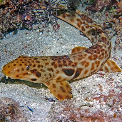 Epaulate shark
