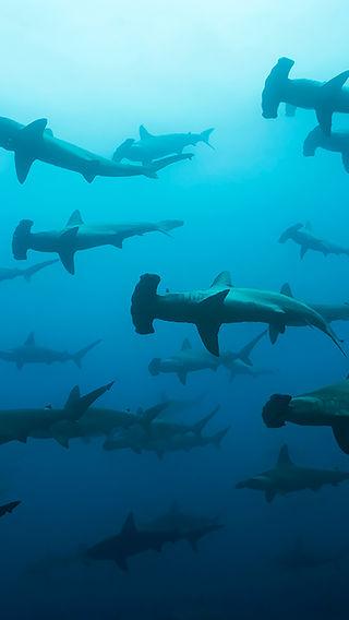 hammerhead sharks, cocos island