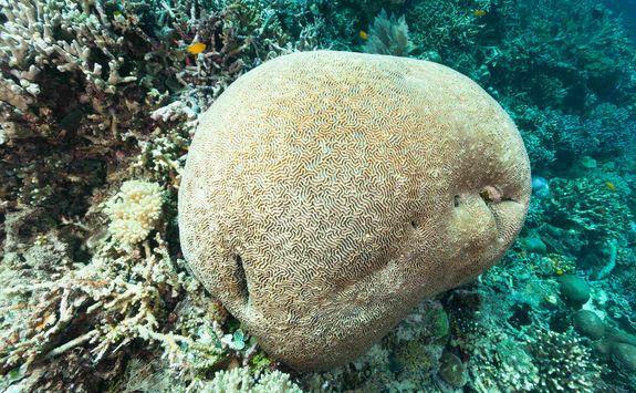 Brain coral in Raja Ampat