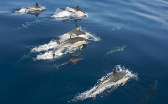 Dolphin spotting in Sao Miguel