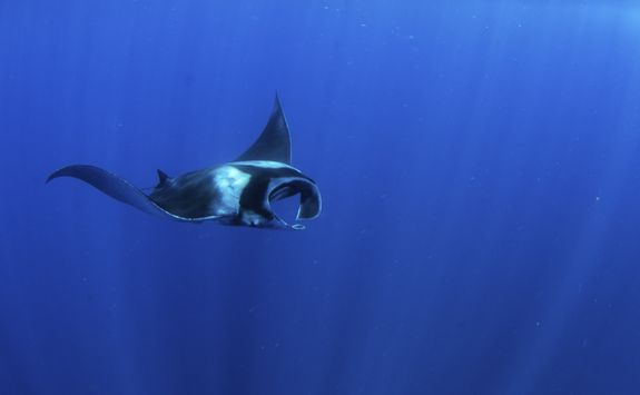 Manta ray in the Azores