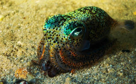 Bobtail squid macro diving at Kalimaya Dive Resort, Indonesia