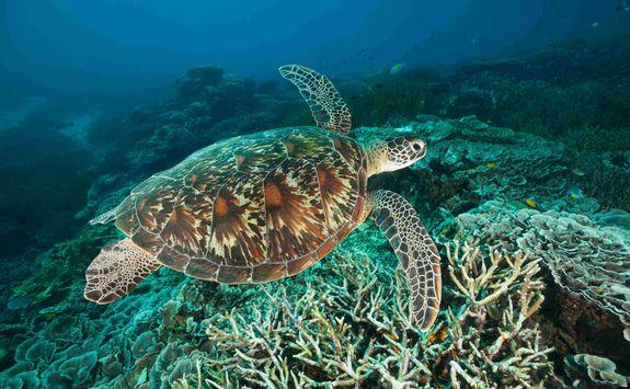 turtle komodo