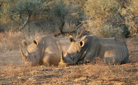 rhino conservation experience Madikwe Game Reserve