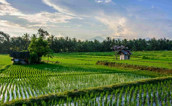 Rice paddies outside Ubud