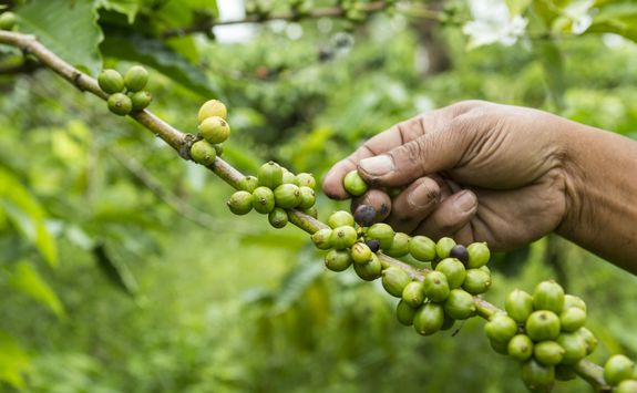 Picking coffee beans in Bali