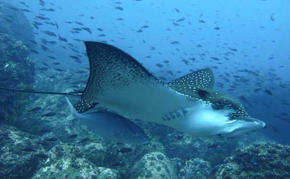 Eagle ray with fish