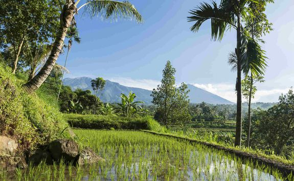 Rice paddy in Lombok