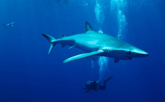 diving shark azores