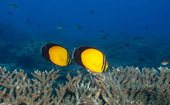 Butterfly fish swimming over coral