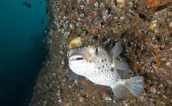 Big Eyed Porcupine Fish, Daymaniyat Islands