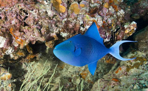 Single Red Toothed Triggerfish
