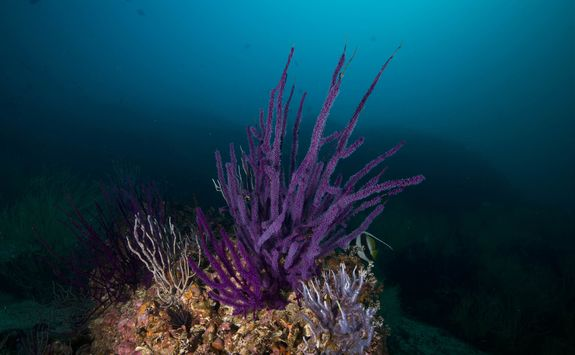 Purple soft corals
