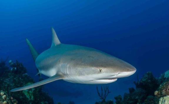 Grey Reef Shark in the Maldives