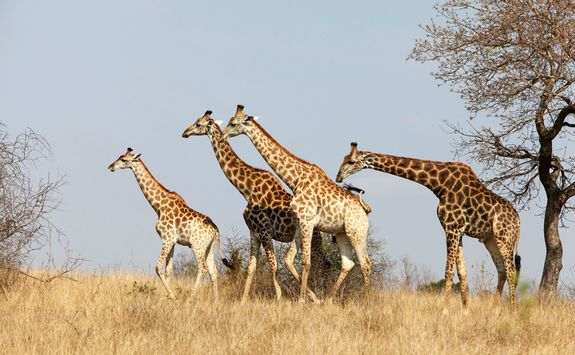 Giraffe game viewing