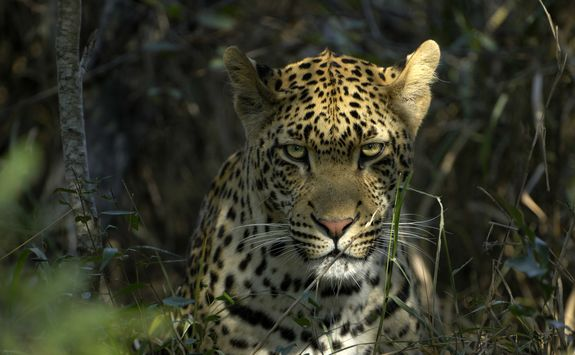 Leapord in Sabi Sands Game Reserve South Africa