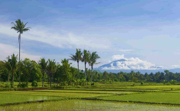 Rice Paddies Java