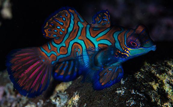 mandarin fish on coral reef