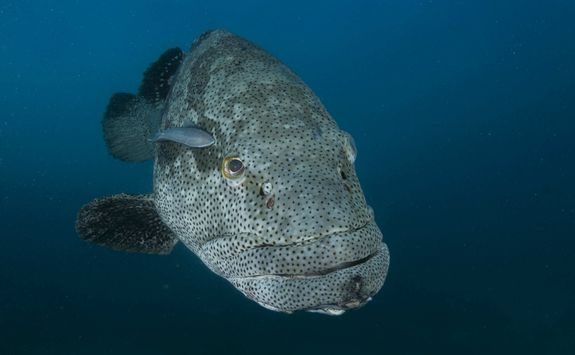 grouper fish diving