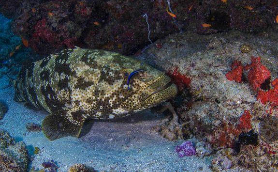 grouper mozambique