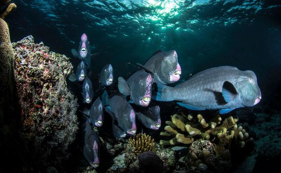 green bumphead parrotfish
