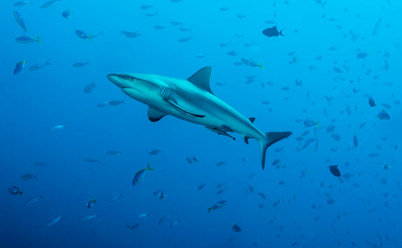 grey reef sharks palau