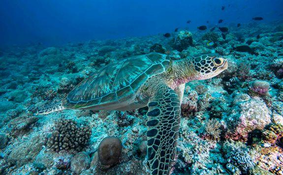 turtle palau