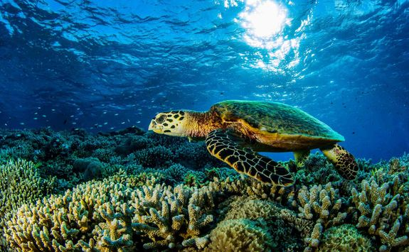 turtle swimming over coral reef