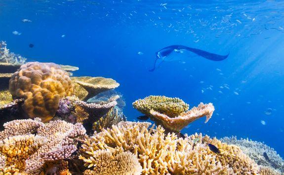 coral manta ray