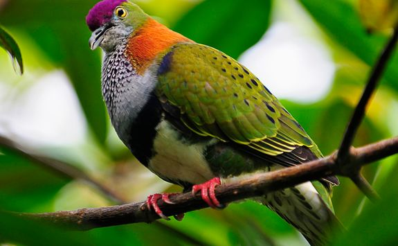 bird fiji