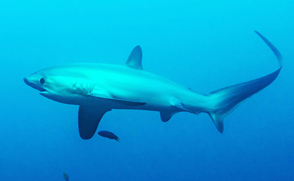 thresher shark philippines