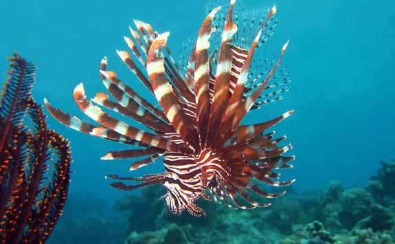 common ionfish