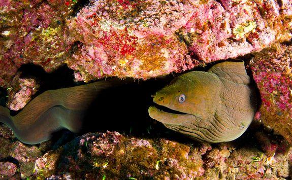 socorro island moray
