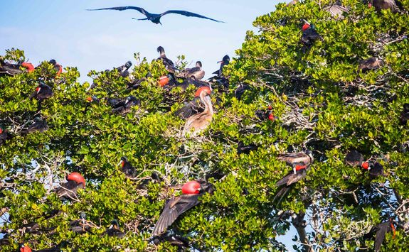 friatebird tree