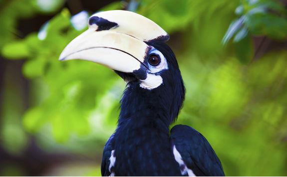 palawan hornbill