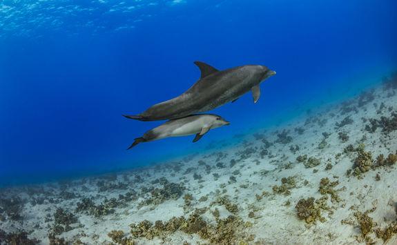 dolphin pair