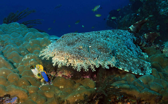 tassled wobbegong shark